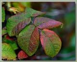 Belle de Crecy - autumn leaves