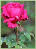 Rose bud - New Wm Shakespeare