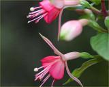Pink fuchsias in April