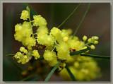 Acacia ityaphylla