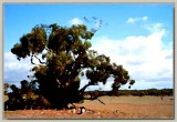 Old mallee gum in a dry paddock