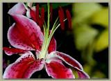 Red tigerlily