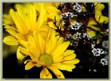Yellow daisy and thryptomene