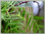 Pepper tree fronds and fencepost
