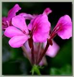 Pink ivy pelargonium