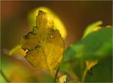 Crab apple leaf