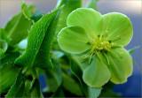 Helleborus in June (The Winter Rose)