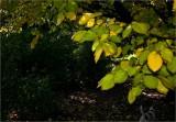 The Golden Elm tree & the rose garden