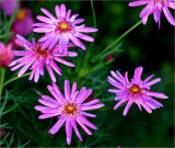 Pink daisies in winter
