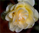 One of the last few roses to flower