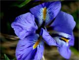 My little winter iris in flower