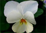 A little white viola in June