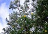 Banksia tree in the soft winter sunshine