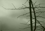 Gingko tree in winter