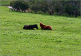 Time for a rest, the horses napping in the big paddock