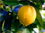 Lemons in July