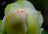 Winter rosebud - again