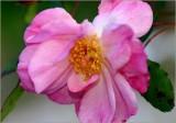 Ramblin' Rose...