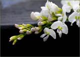 Hardenbergia violacea 'Alba'