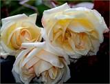 Old tea roses