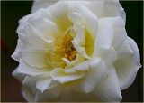 The cemetery rose