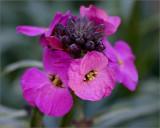 Winter wallflower