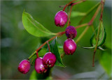 Lilly Pilly berries