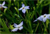 Little blue stars