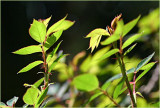 Fresh new leaves of spring