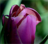 First tulip for 2007