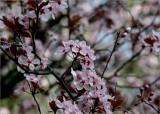Amongst the plum blossom