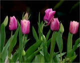 A bowl of tulips