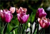 Tulips opening