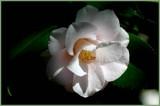 Magnolia E. Flora (camellia)