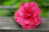 Camellia from a friend