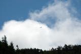 Cabot Trail Eagle.jpg