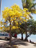 arbre en fleur baie des citrons