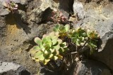 There are at least 11 different endemic species of Aeonium on La Palma.