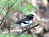 Grosbeaks and Buntings