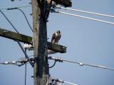 Peregrine Falcon at Cameron Run, Alexandria, 2007