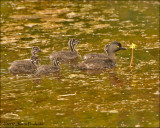 Least Grebe and chicks
