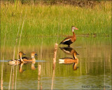 Black-bellied Whistling Duck and Fulvous Whistling Ducks