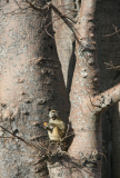 baobab tree with monkey