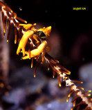 Crabs/Shrimps