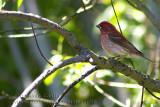 Roselin pourpr�E/ Purple Finch