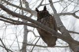Grand-Duc d'Amérique / Great Horned Owl