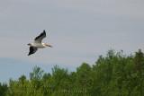 Pélican d'Amérique / American White Pelican