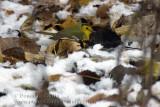 Paruline �ECapuchon / Hooded Warbler