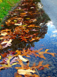 Leaf Puddle Reflection