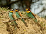 Bee-eater2